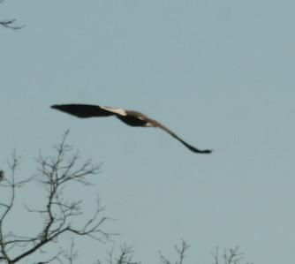 2011 Bald Eagle_0004