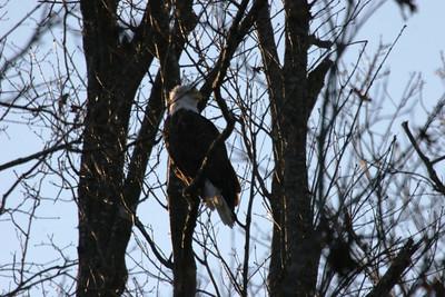 2011 Bald Eagle_0055