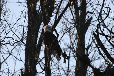2011 Bald Eagle_0041