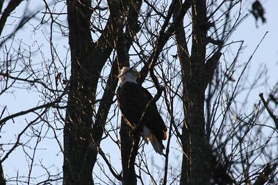 2011 Bald Eagle_0052