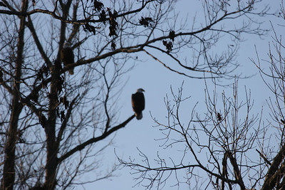 2011 Bald Eagle_0021