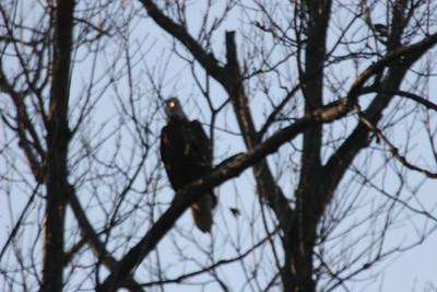 2011 Bald Eagle_0038