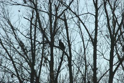 2011 Bald Eagle_0014