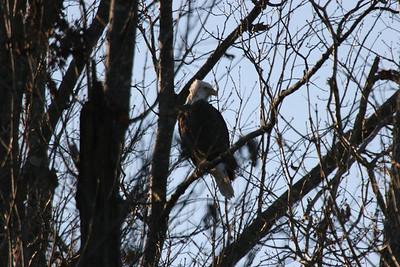 2011 Bald Eagle_0036