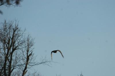 2011 Bald Eagle_0003