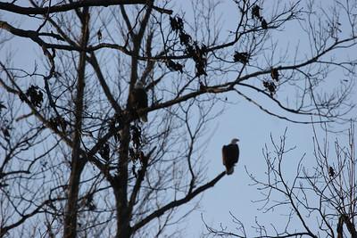 2011 Bald Eagle_0023