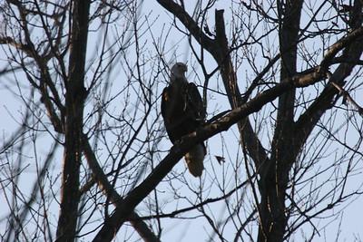 2011 Bald Eagle_0046