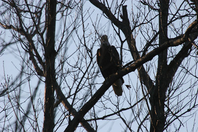 2011 Bald Eagle_0045
