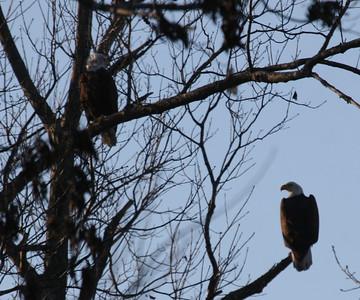 2011 Bald Eagle_0025