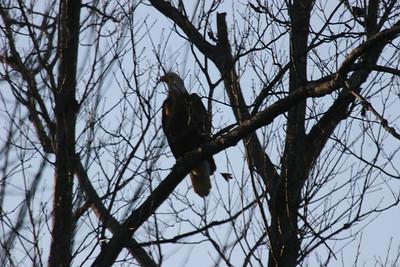 2011 Bald Eagle_0048