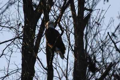 2011 Bald Eagle_0056