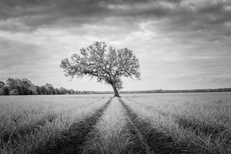 Old Oak in a Sugar Cane field