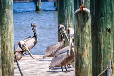 Pelican Party