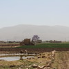 Onion fields on the way between Amran city and Houth. The jakaranda tree is blooming. <br /> <br /> Photo: NRC/Alvhild Stromme