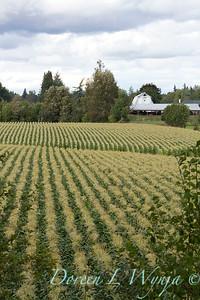 Corn field_016