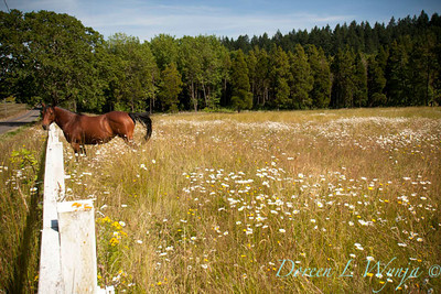 Horse in Dasiy field_008