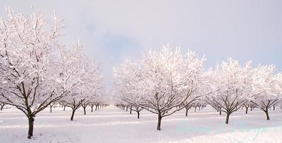 Corylus Filbert Orchard_001