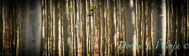 GreenWood Poplar trees_5824