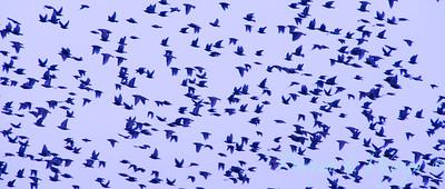 Starling flock_532