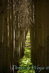GreenWood Poplar trees_5790