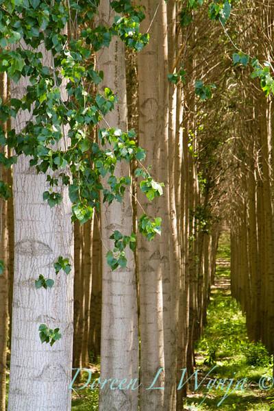 GreenWood Poplar trees_5815