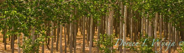 GreenWood Poplar trees_5784