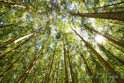 GreenWood Poplar trees_5797