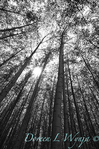 GreenWood Poplar trees_5801