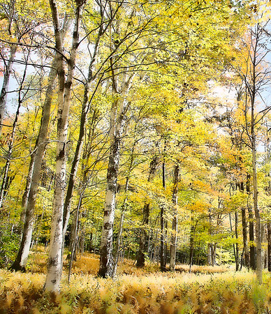 Golden Aspens and Ferns on the Cheat Mountain Range in WV<br /> <br /> I love fall