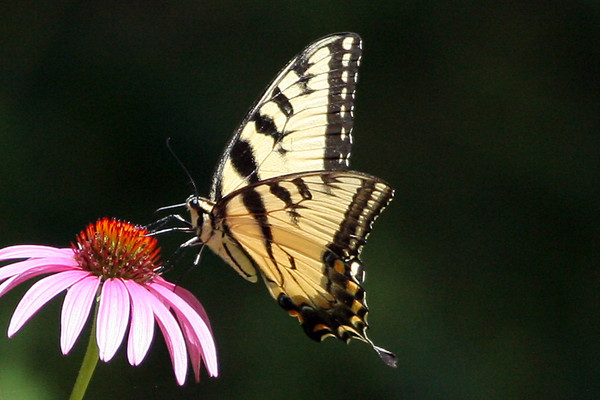 Butterflies, Hummers and Other Critters