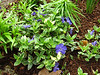 Blue flowered ground cover.