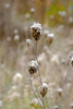 Dried Queen Anne's Lace