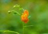 Jewel Weed Blossom
