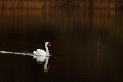 Lone Swan-IMG_3507