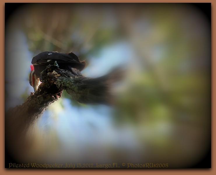 Pileated Woodpecker..July 13,2012..Largo,Fl.. © PhotosRUs2008
