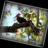 Pileated Woodpecker .July 13,2012..Largo,Fl.. © PhotosRUs2008
