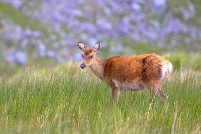 Deer, Glandalough-IMG_1705