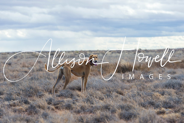 Coursing in the Arizona Desert