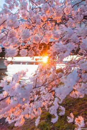 Cherry Blossom Sunburst