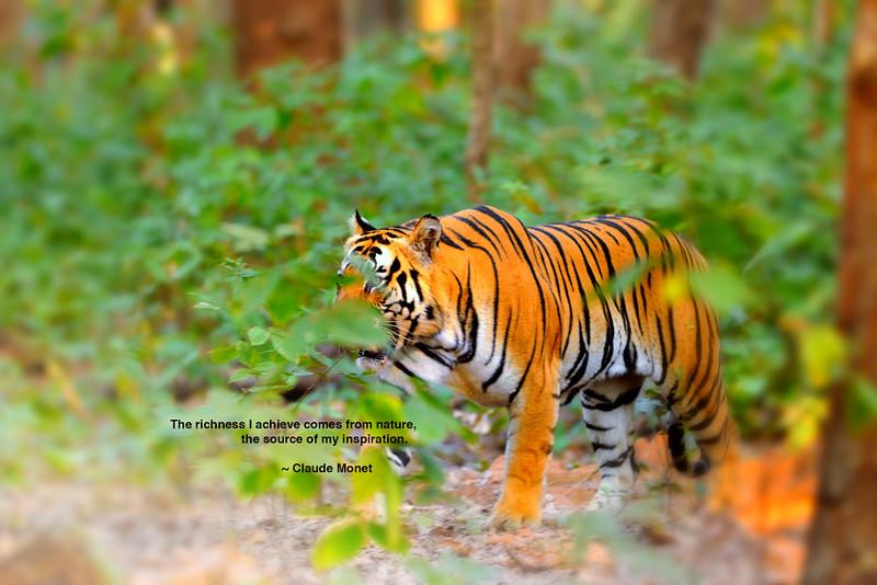 Royal Bengal Tiger ~Kanha National Park, India.