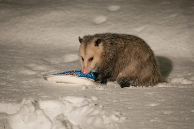 Opossum