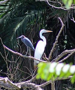 Great Egret & Little Blue Heron