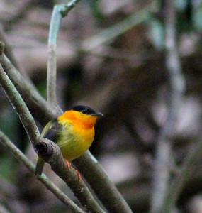 Orange-collared Manakin Male