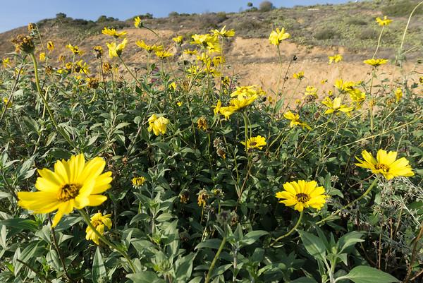 California Yellows.
