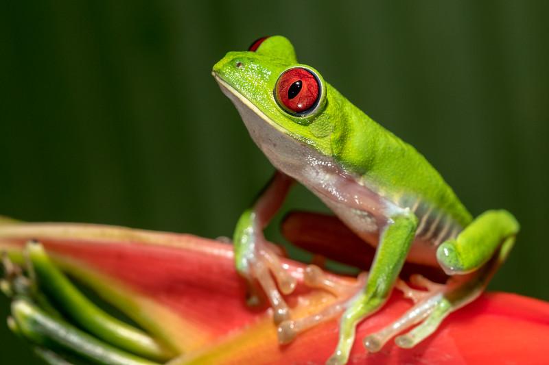 Red-eye tree frog at Crocodile Bay Resort - Costa Rica.