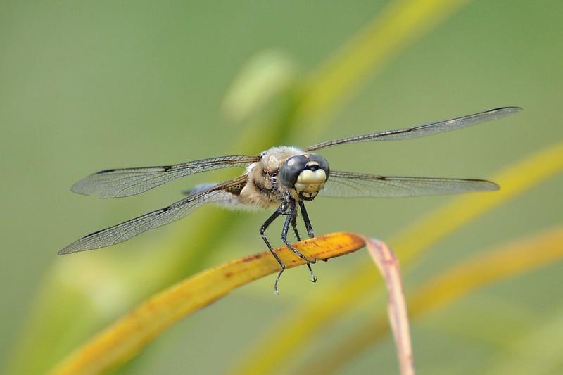 Dragonfly ( Odonata )