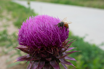 Thistle and a bee