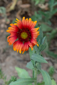 Bright flower in orange and reds