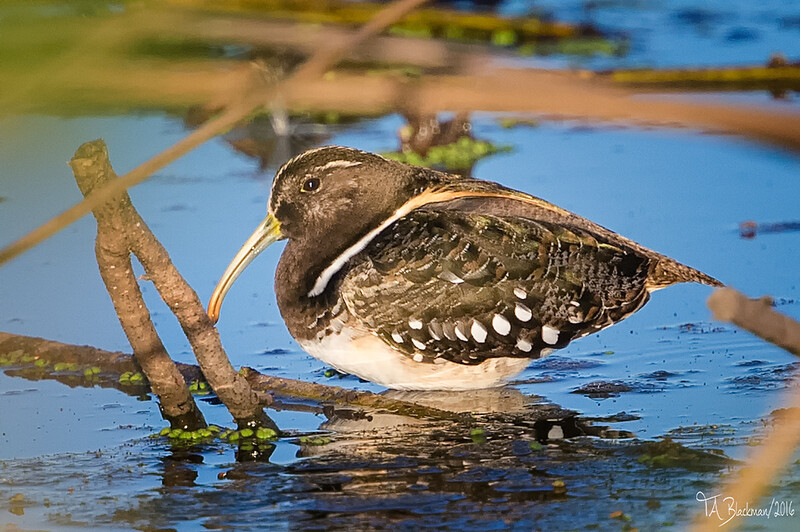 South American Painted Snipe