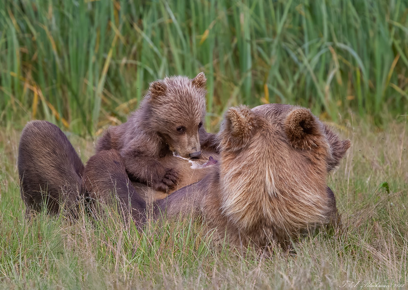 Coastal Brown Bear Nursing